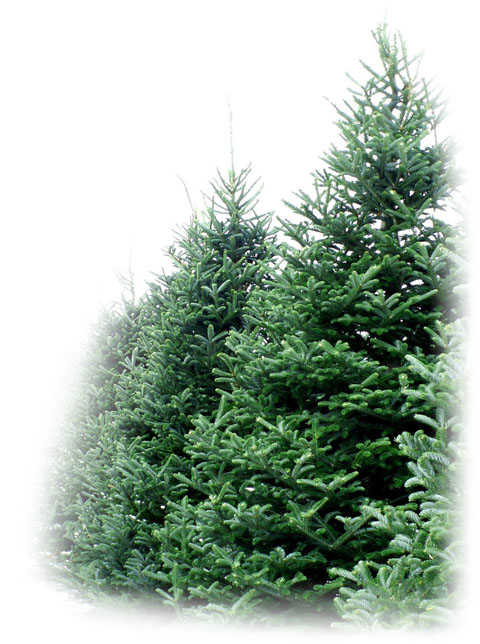 christmas-tree-shop - Christmas Tree Collection €� Christmas Tree Dublin